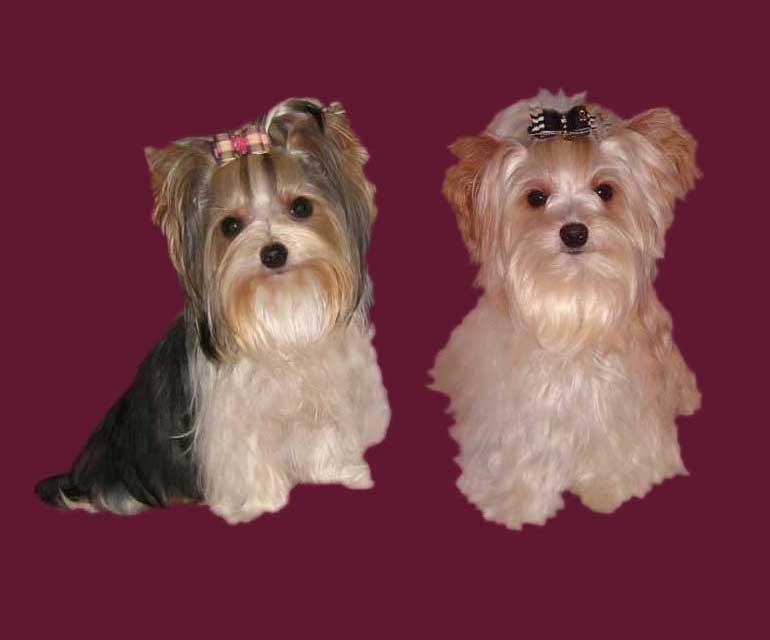 ver la luz dahra mae und finjo | Hundezucht von Martina Dase ver-la-luz - Golddust und Biewer Yorkshire Terrier a la Pom Pon