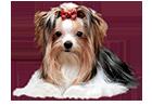 ver-la-luz - Golddust und Biewer Yorkshire Terrier a la Pom Pon